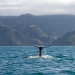 Sperm Whale  off the coast of Kaikoura, New Zealand