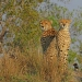 Kruger National Cheetahs