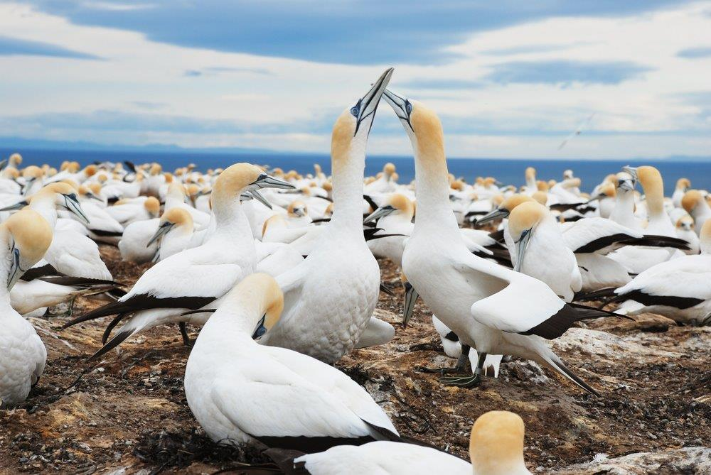 Cape Kidnappers Gannet Colony in Hawkes Bay, New Zealand